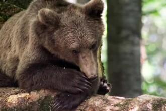Ursii refuza sa mai intre la hibernare. Cei din gradinile zoologice se joaca afara si se bucura de primavara din decembrie