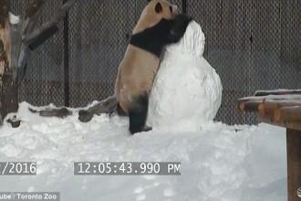 Bucuria nespusa a unui panda care a primit un om de zapada la ZOO din Toronto. Ce face cand il vede. VIDEO