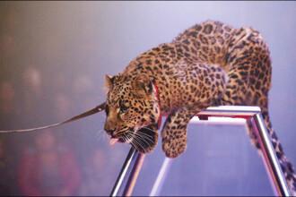 Femeie sfasiata de un leopard, la circ, in timp ce incerca sa protejeze un copil de 4 ani. Cum a reusit sa scape cu viata