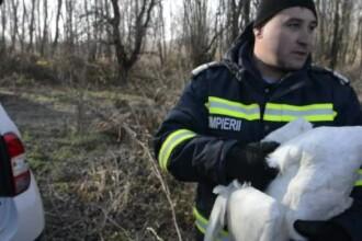Interventie mai putin obisnuita a pompierilor din Galati. O lebada ranita, aflata pe raul Prut, a avut nevoie de ajutor