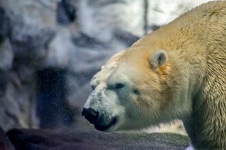 Urs polar pe moarte din cauza încălzirii globale, filmat în Canada.