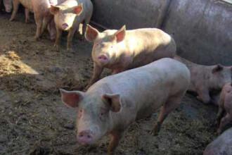 Incident la tăierea porcului. Ce a pățit un vasluian când a vrut să scoată porcul din coteț