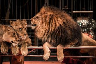 Leoaice obeze, la un circ din Rusia. Explicaţia dresorului: