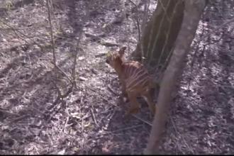 Un pui de antilopă bongo, prezentat în SUA. Specia e în pericol de dispariție