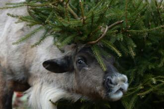 Păstor de reni, obligat de Curtea Supremă să taie 41 de animale din turma sa de 116