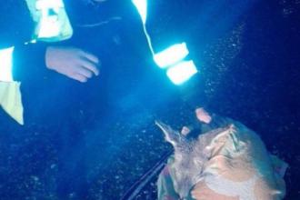 Un polițist a salvat de la moarte un pui de căprioară lovit de o mașină