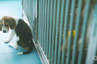 O companie din China clonează căţeluşi bolnavi pentru a studia maladiile genetice