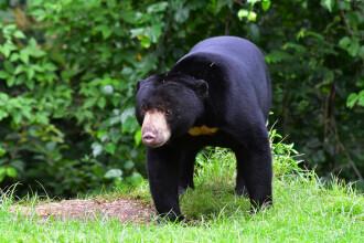 Un bărbat a împușcat mortal un urs ținut captiv, aflat pe cale de dispariție. VIDEO