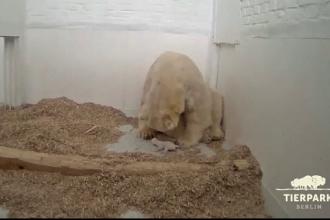 Moment emoționant la o grădină zoologică, unde s-a născut un ursuleț polar