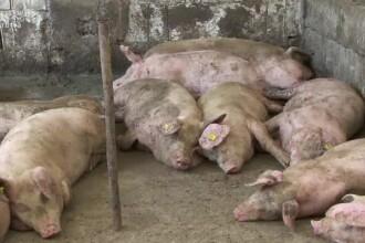 Pesta porcină: oamenii își omoară animalele înainte să o facă inspectorii sau boala