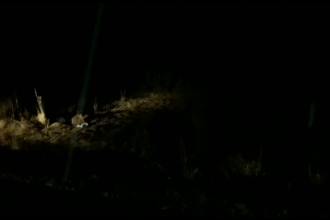 Ursul lovit de o maşină pe un drum în Sibiu s-a întors în pădure