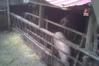 """CAMERA ASCUNSĂ. Porci, vânduți din zonele afectate de pestă. """"E injectat, are tot"""""""