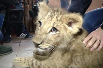 Puiul de leu găsit în portbagaj va avea ocazia să își facă prieteni noi