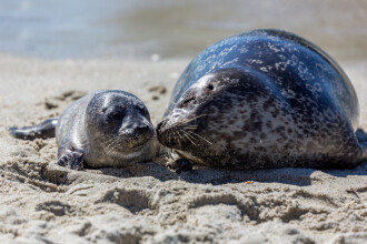 Pui de focă, masacraţi pe o plajă turistică. Ucigaşii le-ar fi luat capetele acasă