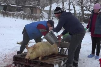 """Porcii care au scăpat de pesta porcină, tăiați de Ignat. """"Trimitem în străinătate"""""""