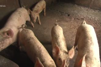 Un nou focar de pestă porcină, depistat în Ajunul Crăciunului. Porci morți în cotețe