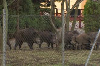 Zece mistreți au năvălit în curtea unei grădinițe din Polonia. Cum au intervenit vânătorii