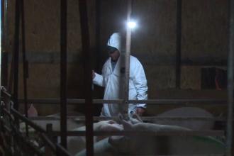 Scandal cu împușcături în Dâmbovița, după ce au cumpărat un porc bolnav