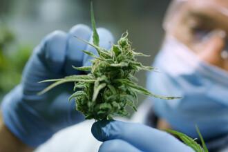 ONU a recunoscut oficial proprietăţile medicinale ale canabisului