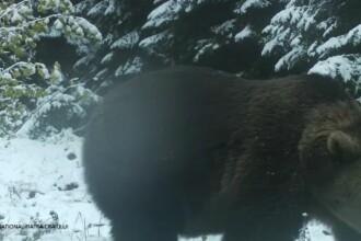 Imagini inedite surprinse de angajații Romsilva, cu un urs care a descoperit o cameră ascunsă