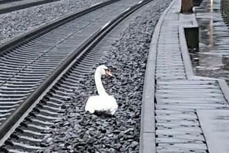O lebădă în doliu a blocat circulația a zeci de trenuri în Germania. Ce s-a întâmplat cu perechea sa