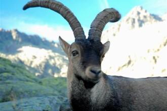 Specie disparuta de capra salbatica, readusa la viata prin clonare