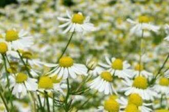 Romanii inlocuiesc antibioticele cu tratamente pe baza de plante
