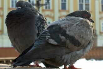 Solutie inedita gasita de edilii din Oradea pentru a alunga porumbeii de pe cladirea Primariei