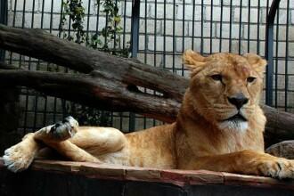Cruzime in spatele scenei! Animalele de la circ, torturate in Rusia