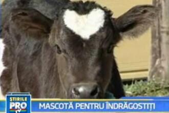 Un vitel cu o inima in frunte a devenit mascota Japoniei de Sf. Valentin