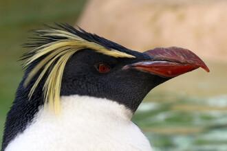 Ea este femela pinguin care sufera din dragoste!
