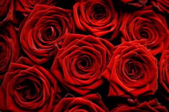 Sa nu uitam sa cultivam trandafirii. Fermierii au renuntat la cartofi si fac bani frumosi din petale