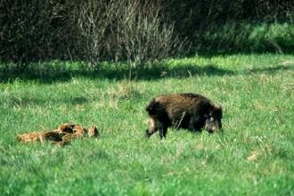 Un cioban din Alba a fost muscat de un mistret. Omul abia a reusit sa ceara ajutor