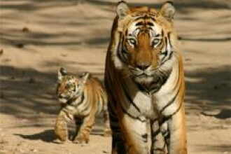 Bogatii din Indonezia pot sa adopte feline