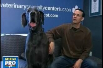 El este George, cel mai inalt caine din lume!