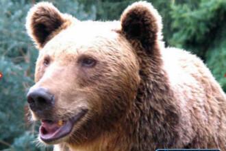 Barbat de 71 de ani, mort dupa ce a fost atacat de un urs, in judetul Dambovita