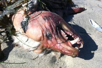 Monstru neidentificat, fotografiat in SUA. Nimeni nu stie ce e, insa gasitorul ii spune Chupacabra