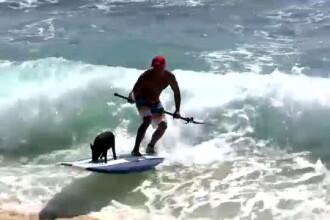 Kama, porcusorul din Hawai care a invatat sa faca surfing. Demonstratie VIDEO