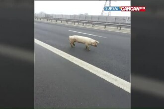 Romania, tara in care porcii si oile au pus stapanire pe autostrazi. Aparitiile