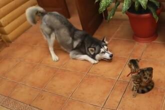 Un Husky vrea sa se joace cu o pisica. Reactia felinei. VIDEO