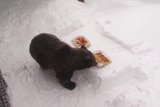 Aniversare la Straja. Cum l-au sarbatorit copiii pe Baloo, cel mai batran urs carpatin crescut in captivitate in Europa