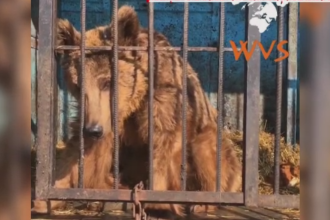 Doi ursi subnutriti de la un ZOO din Armenia, adusi de urgenta la Zarnesti. Animalele au ajuns sa cantareasca doar 50 de kg