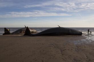Opt balene au fost gasite moarte, dupa ce au esuat pe o plaja din Germania. Imaginile surprinse de localnici