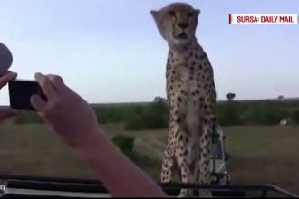 Experienta pe care turistii nu o vor uita. Un ghepard a sarit pe masina in care se aflau si le-a