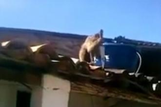 Haos intr-un bar din Brazilia. O maimuta turmentata a pus mana pe un cutit de bucatarie si a inceput sa atace barbatii