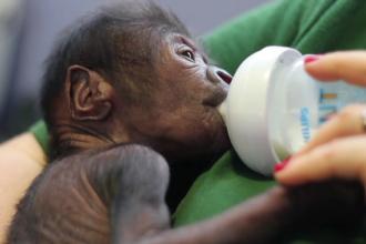 Cezariana de urgenta pentru un pui de maimuta din Anglia. Metoda folosita in premiera