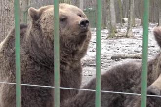 Prezicerea urşilor. Cât mai durează iarna în România