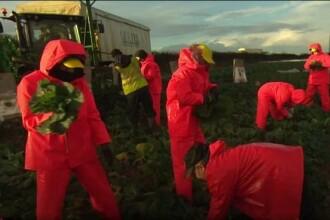 EXPERIMENT la o fermă din Anglia. Est-europenii, de 10 ori mai rapizi decât tinerii britanici. VIDEO