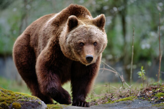 Un urs a intrat în mai multe case, a băut afinată, apoi a adormit sub un molid