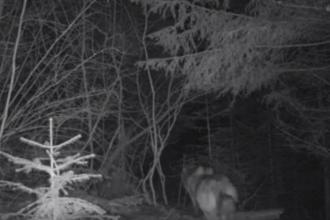 Doi lupi au fost filmaţi în Parcul Natural Putna Vrancea. VIDEO